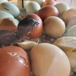Hatching Experience - 1st Chick
