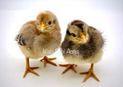Awesome Auto-sexing Cream Legbar Chicks