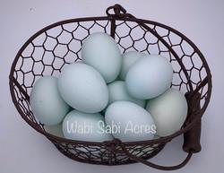Sky blue Cream Legbar Eggs in Wire Baske