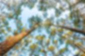 Image simulant grace a l'ombre portee un tirage photo d'Antoine Tatin representant des pins maritimes captures en contre-plongee.