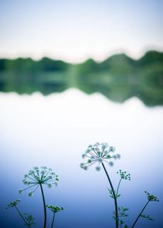 ELDERFLOWERS - Lac du Jaunay (La Baudrière)
