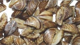 """No Invasive """"Zebra"""" Mussels Detected In Saskatchewan Waters In 2018"""
