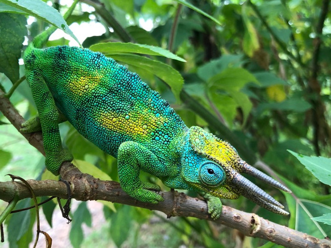 Rwenzori Three Horned Chameleon