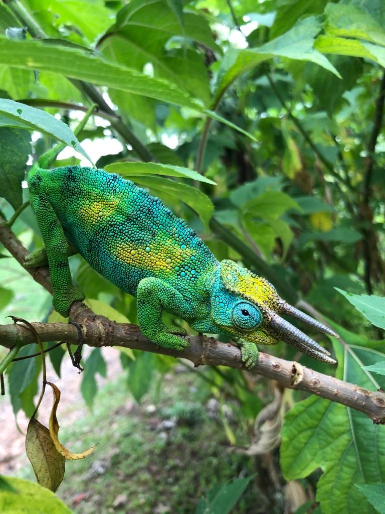 Rwenzori Three Horned Chameleon