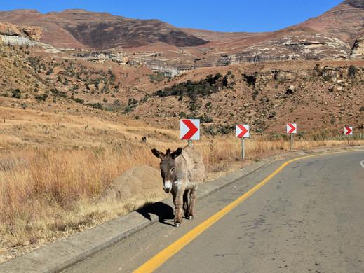 Golden Gate Donkey