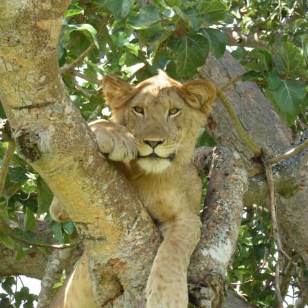 Tree Climbing Lion Uganda