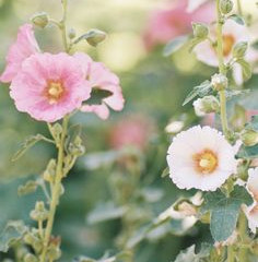 Smitten with Hollyhocks