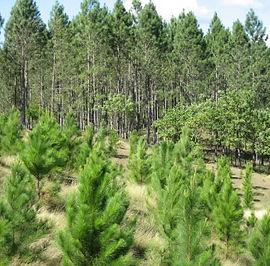 victoria maderas lider misiones montecarlo reforestacion pinos