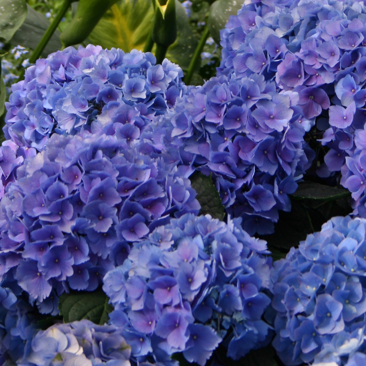 Blue Hydarangea