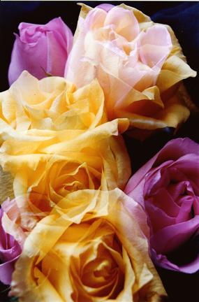 Rose Illusions