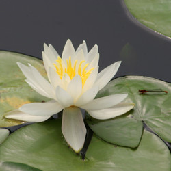 Water Lily White