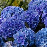 Blue Hydarangea.