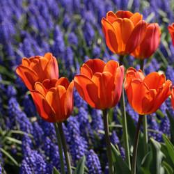 Tulips Orange and Purple