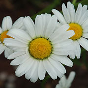 Daisies Three in a Row