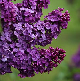 Lilac Dark Purple