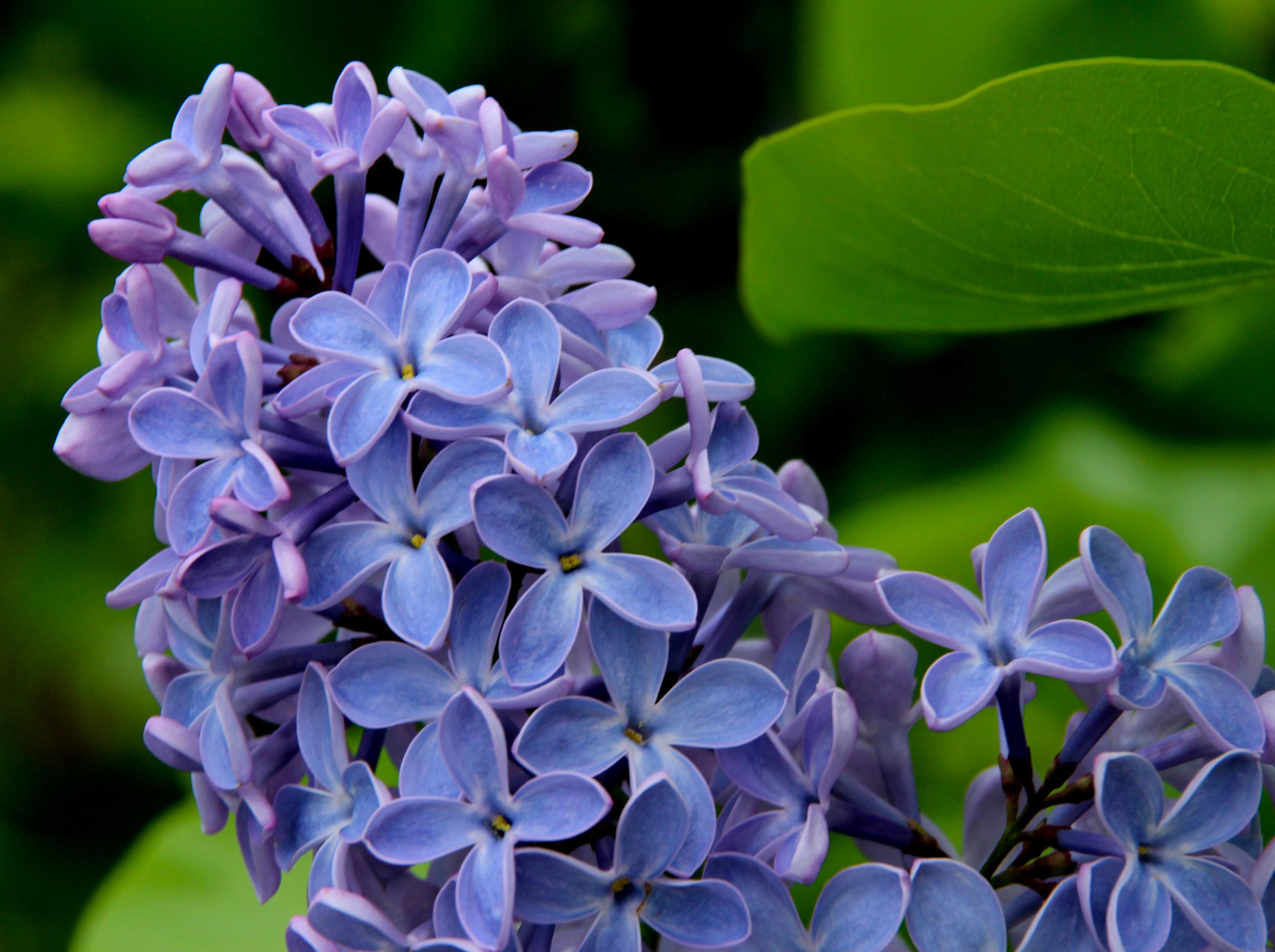 Lilac Blue