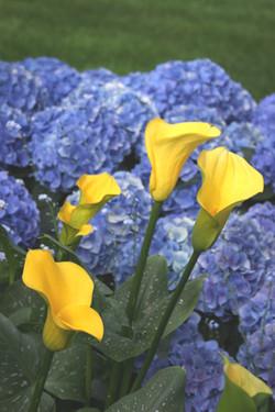 Yellow Cali Lily