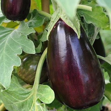sq_aubergine_black_beauty_002.jpg