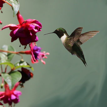 Hummingbird with Fuschia
