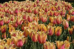 Blushing Tulips