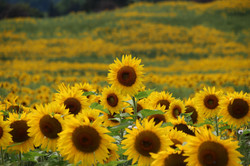 Sunflower - Here I Am