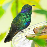 Sparkling Hummingbird.