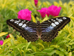 Butterfly Black White and Blue