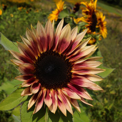 Sunflower Pale