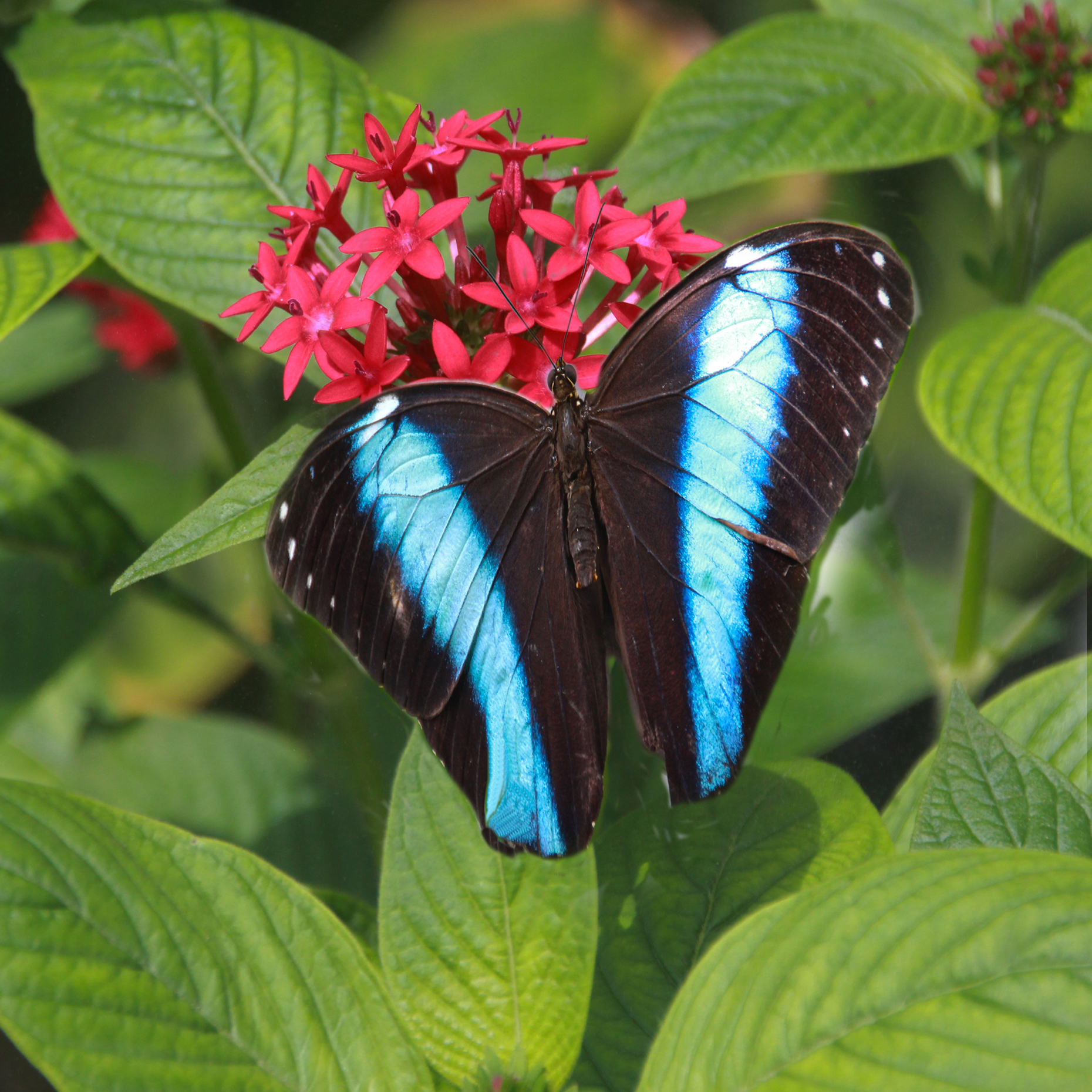 Butterfly Banded Morpho 1