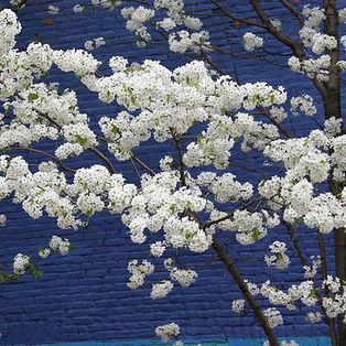 Apple Blossom Blue.
