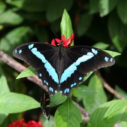 Butterfly Black Blue