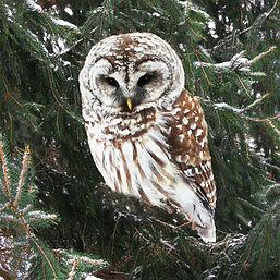 Owl in Tree.