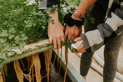 ידיים של נערות מלאות צמידים, מרימות פלטת גידול עמוסה עשבי תיבול בחממה ההידרופונית