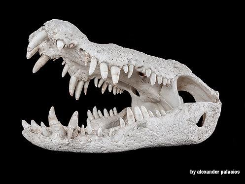 Crocodile I