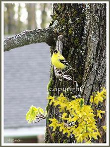 yellow_finch_copy-218x291.jpeg