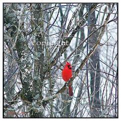cardinal-242x242.jpeg