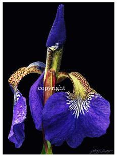 in_bloom_copy-231x309.jpeg