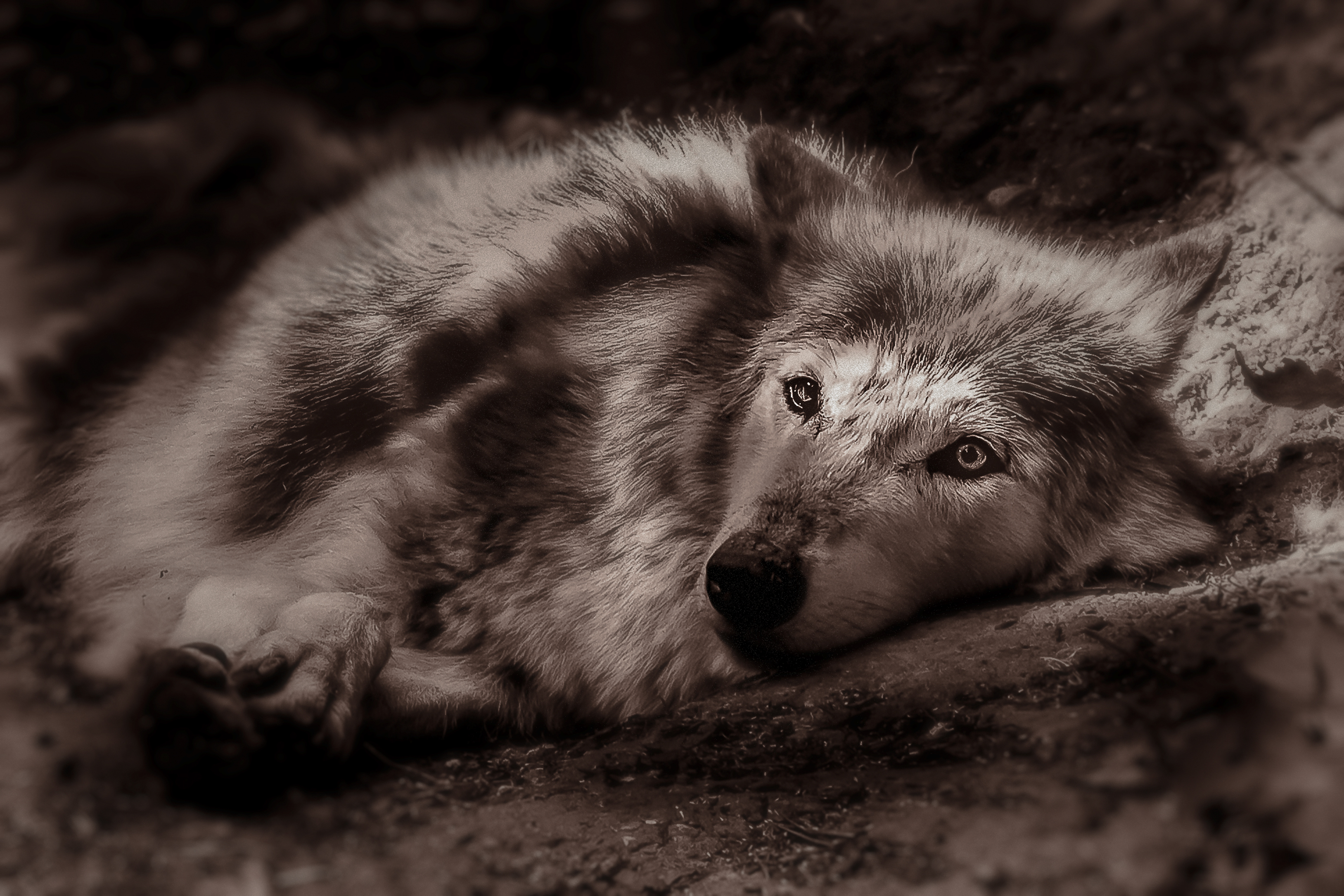 Wolf relaxing