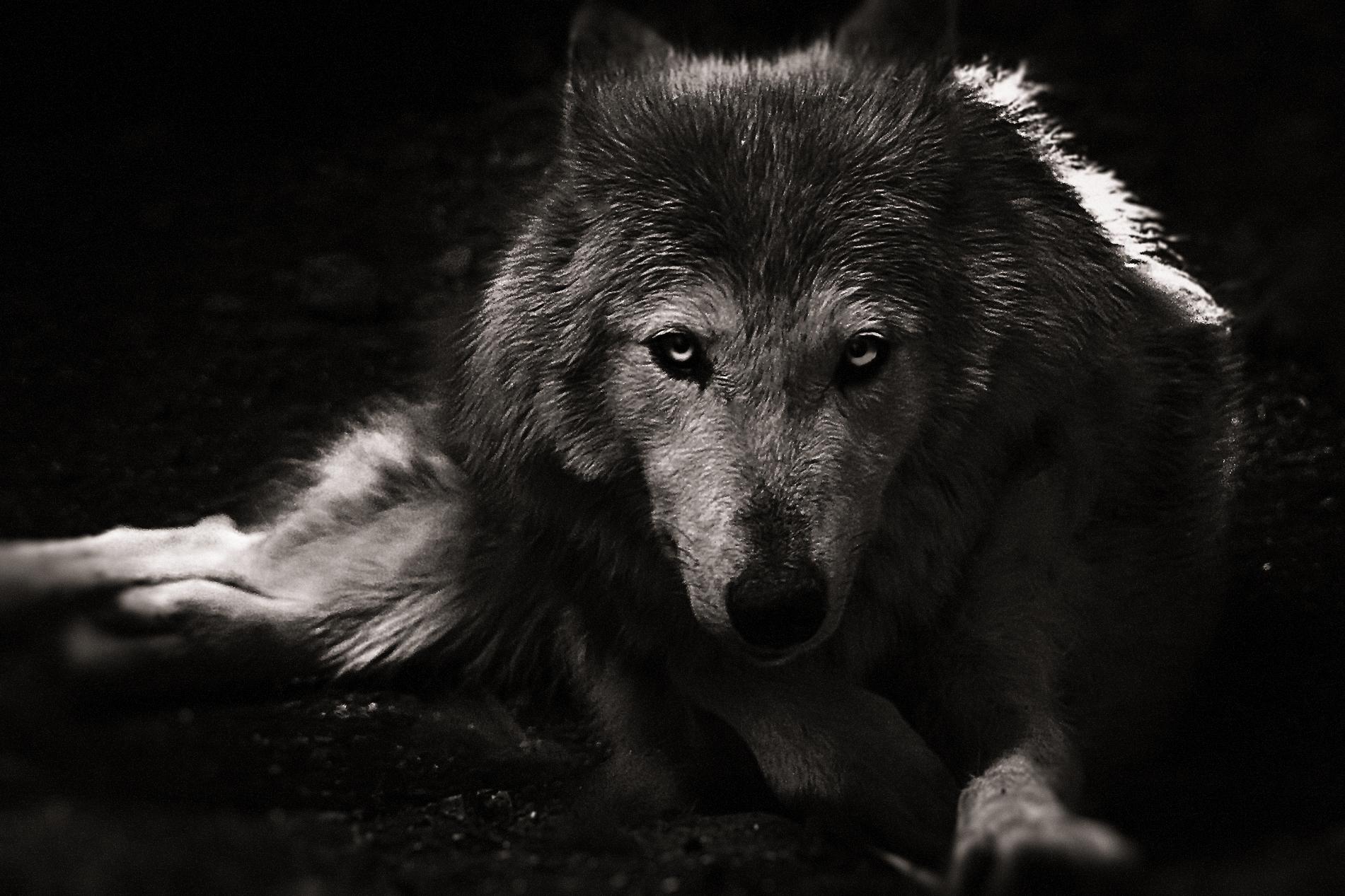 Wolf starrend
