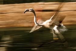 Flamingo Speedy