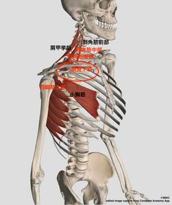 頚部側屈制限と筋群の関係