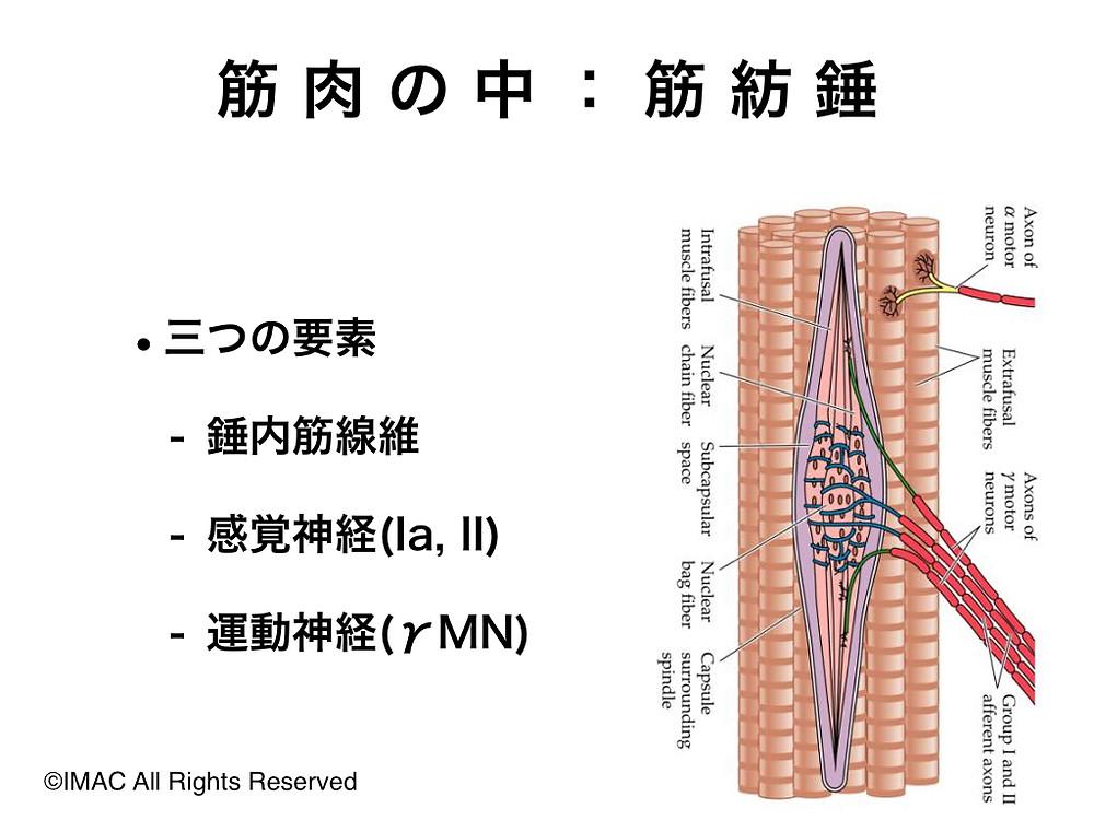 筋紡錘中の構造
