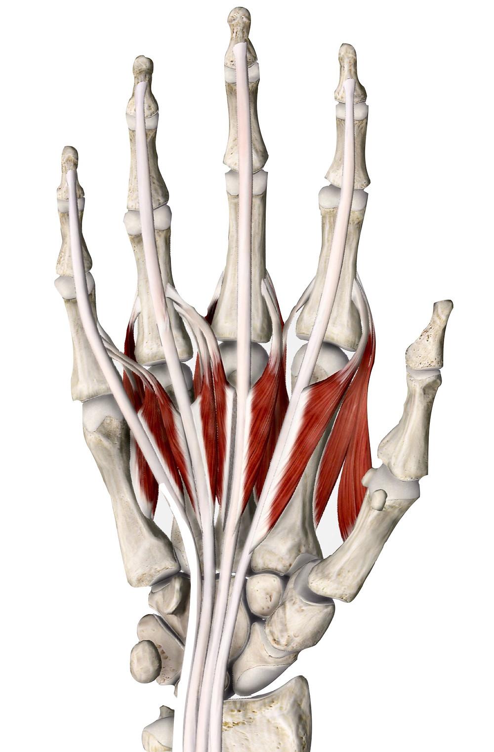 虫様筋と骨間筋