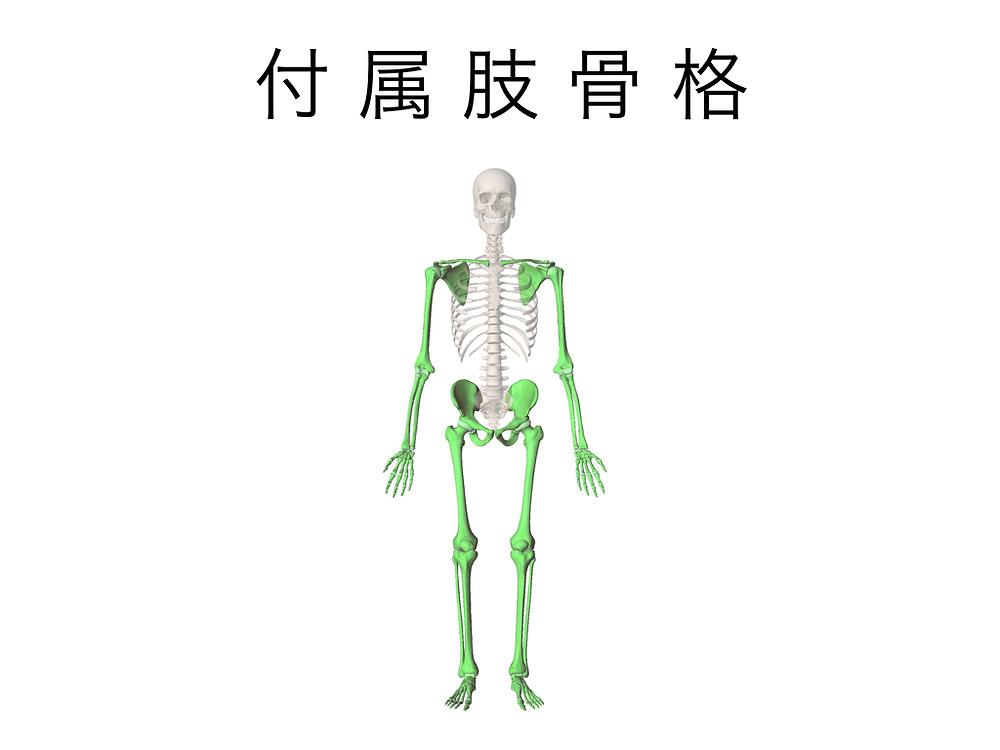 付属肢骨格