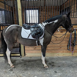 2 13 year old grade paint pony. He is br