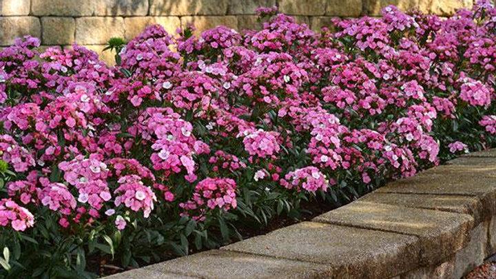 Dianthus Jolt 'Pink Magic'