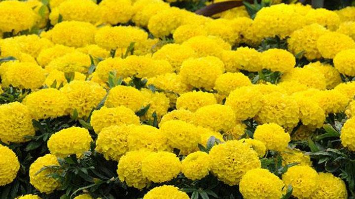 Marigold Taishan 'Yellow'