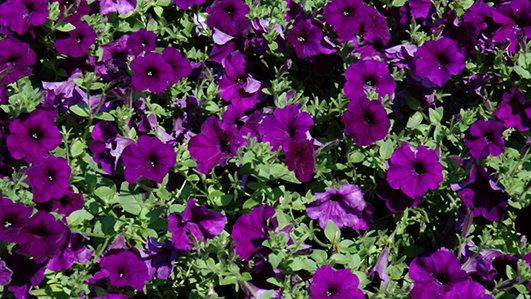 Petunia Easy Wave 'Blue'