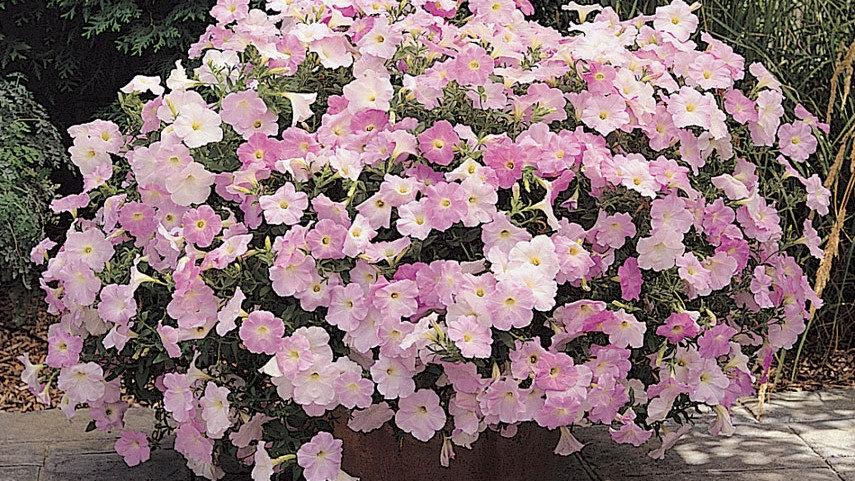 Petunia Wave 'Misty Lilac'