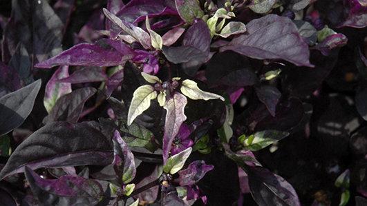 Ornamental Pepper 'Purple Flash'